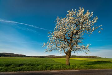 Obraz kwitnące drzewo czereśni w polu - fototapety do salonu