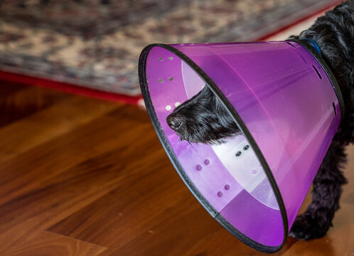Side view of a black poodle terrier or yorkiepoo in a protective plastic neck recovery cone to stop licking