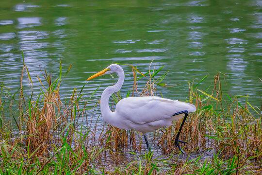 Beautiful Great white heron in the wild