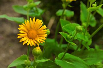 Obraz żółty kwiat słonecznika na zielonym tle - fototapety do salonu
