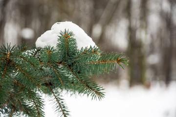 śnieg na  gałązce z zielonymi igłami - fototapety na wymiar
