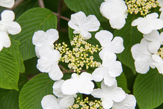White and yellow Guelder Rose flowers in bloom against green leaves in spring.