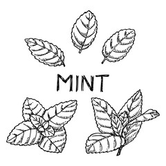 Fototapeta Hand drawn mint leaves isolated on white. Spicy herbs in engrave style. obraz