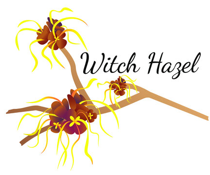 The Vector of Witch Hazel on White Background