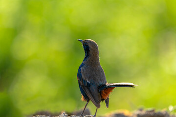 The Indian robin is a species of bird in the family Muscicapidae. It is widespread in the Indian subcontinent and ranges across Bangladesh, Bhutan, India, Nepal, Pakistan and Sri Lanka.