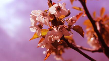 Fototapeta gałązka drzewa owocowego z drobnymi kwiatkami obraz