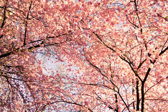 spring floral background with pink cherry tree in blossom and sky