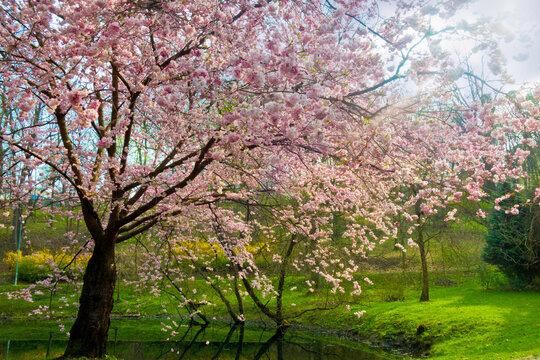 spring tree cherry tree in bloom in spring landscape