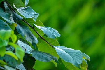 Fototapeta Green elm leaves obraz