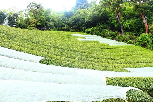京都の山野 玉露の栽培風景