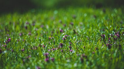 Leśna polana w ciepłe wiosenne popołudnie pokryta trawą i koniczyną.