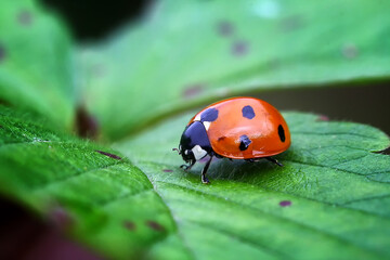 Fototapeta ladybug on leaf obraz