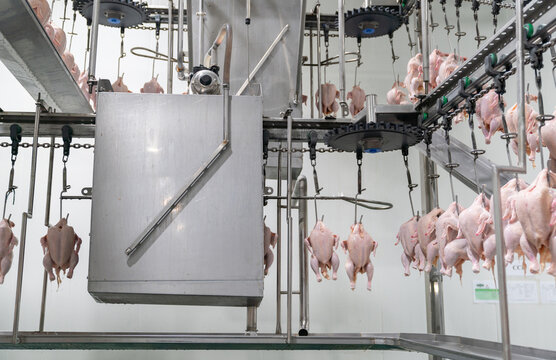 Fresh chicken hanging on the conveyor rail enters the spray cleaner.