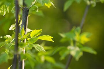 Obraz acer negundo leaves on a green nature background - fototapety do salonu