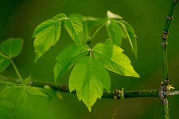 acer negundo on a background of green nature