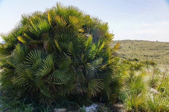 The dwarf palm, Chamaerops humilis, with leaves in sunlight, on Balearic island Majorca