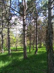 Fototapeta woodland