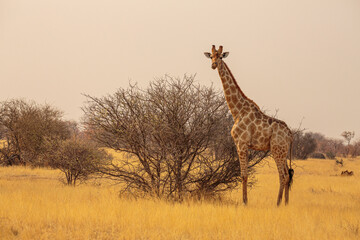 Fototapeta giraffe (giraffa camelopardalis) in the savannah in the dry season in Etosha national park, Namibia