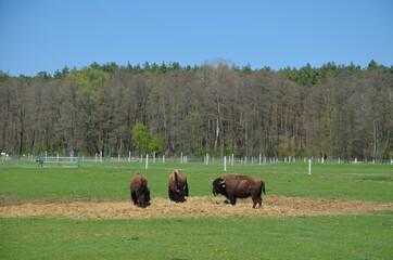 Fototapeta Bizon , Polski Bizon , Bizon w Polsce , Bizon , Kurozwęki ,zwierzak, bizon, krowa, gras, pola, bawoły, bydło, farma, pastwisko, stada, charakter, krowa, krajobraz, byk, pastwisko, ssak, obszarów wiejs