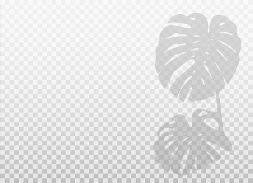 Monstera palm leaves shadow isolated on transparent background. Vector realistic shadow overlays with empty space. Natural silhouette without blurring.