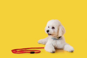 Cute little dog with leash on color background