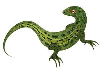 Fototapeta gezeichnete und kolorierte Zauneidechse