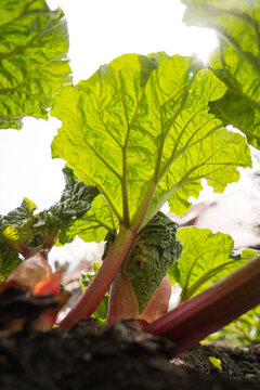 Rhabarberpflanze von unten