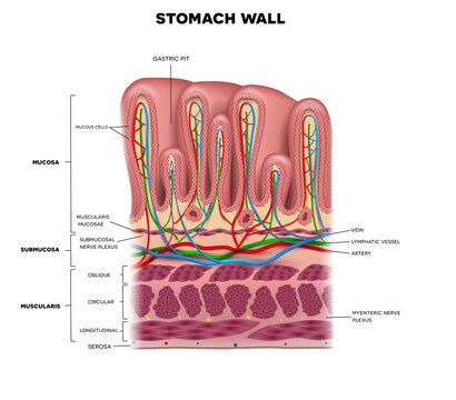 Stomach wall layers detailed anatomy, beautiful colorful drawing on a white background.