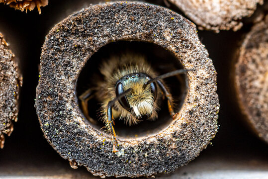 A mason bee  (Osmia bicornis) checking the nesting facilities of our insect-hotel.