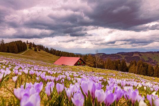 Allgäu - Hündle - Oberstaufen - Krokusse - Krokusblüte - Frühling