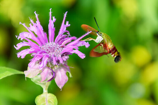 Wild pink Bee Baum also called wild bergamot with hummingbird moth with soft green and yellow background