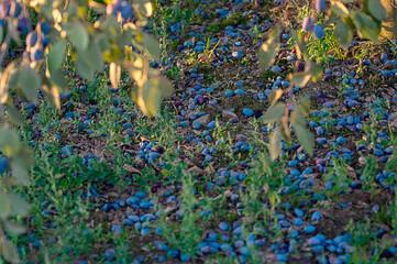 Fototapeta Spady sad śliwkowy z dojrzałymi owocami leżącymi na ziemi obraz