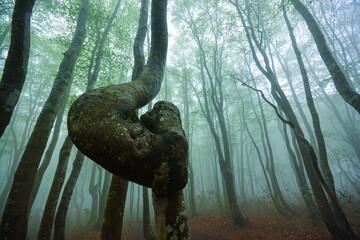 Fototapeta 霧に覆われたブナの新緑と曲がった木 obraz