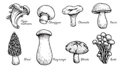 Fototapeta Various mushrooms set. Hand drawn sketch style. Oyster, champignon, chanterelle, porcini, morel, trumpet, shiitake, enoki. Vector illustrations. obraz