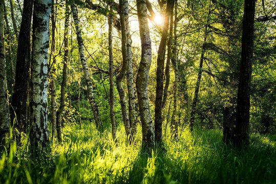 blask wschodzącego słońca w lesie
