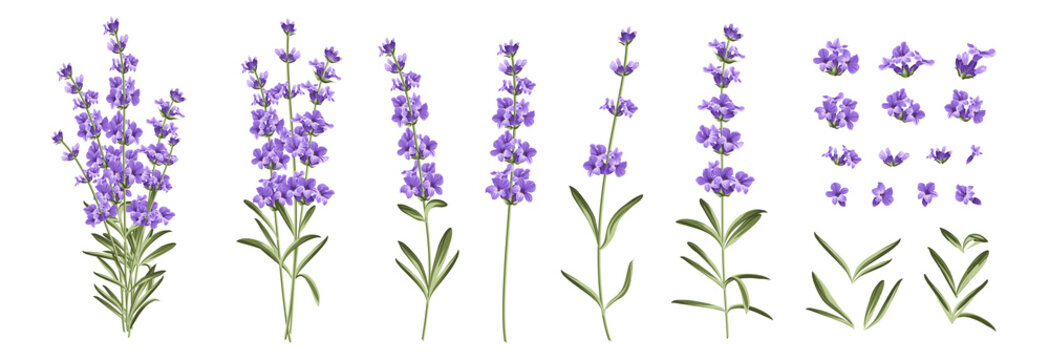 Set of differents lavender branches on white background.