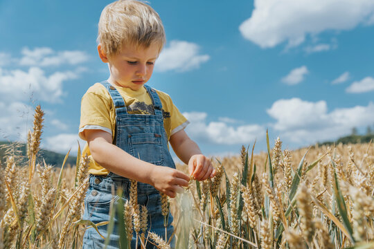 Cute boy looking at barley on field during sunny day