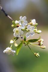 Fototapeta Kwiaty wiśni obraz