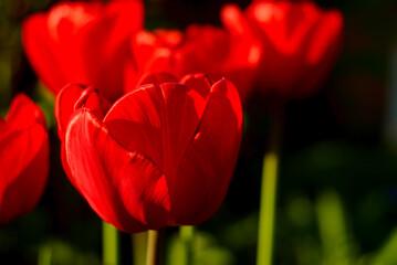 red flower tulip on dark background in spring sun