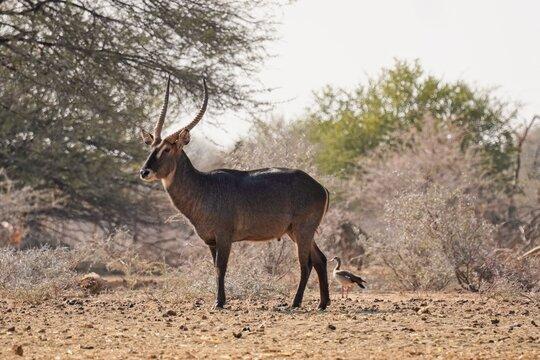 Waterbuck in Erindi Private Game Reserve, Namibia