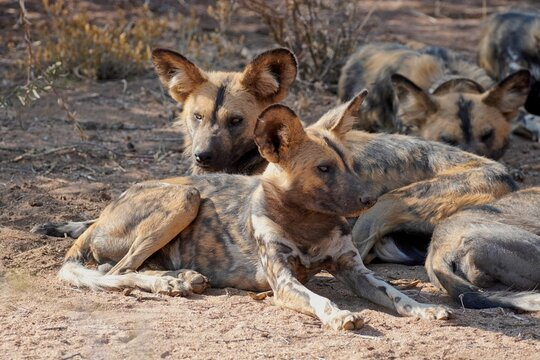 African Wild Dogs in Erindi Private Game Reserve, Namibia