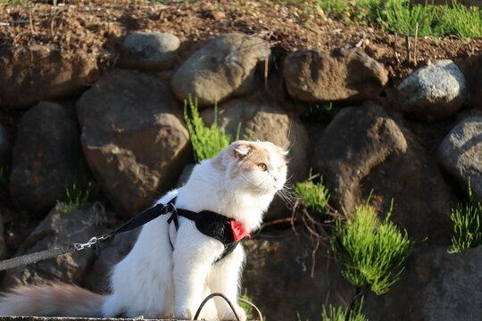 ペットと散歩 猫のスコティッシュフォールド