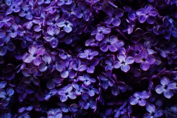Obraz Beautiful purple background from lilac flowers close-up. Spring flowers of lilac. Dark photo. - fototapety do salonu