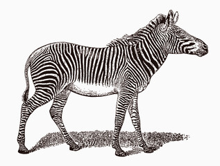 Fototapeta Endangered Grevy's zebra, equus grevyi in profile view, after an antique engraving from the 19th century