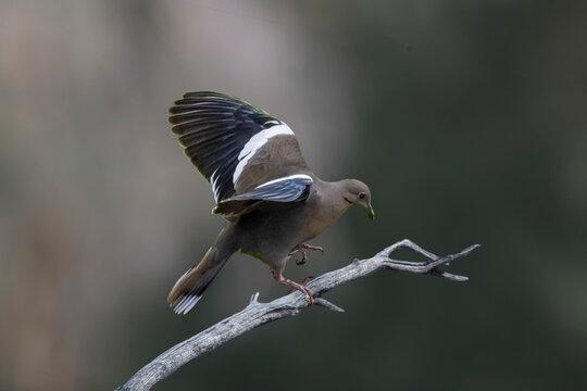 White-winged Dove (Zenaid asiatica) Taking Off