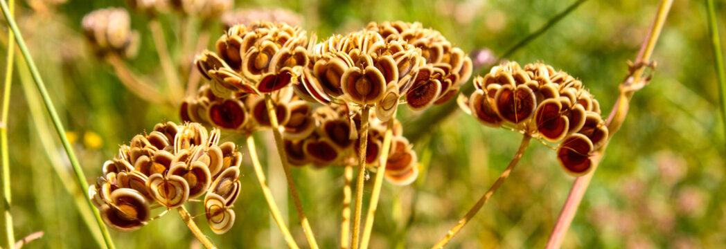 panoramic close up macro of wild cow parsnip flower seed pods with copy space. An architecture abstract shape.