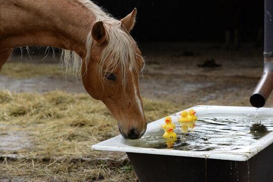 Poolspiele. Schönes Pferd trinkt Wasser aus einer Wanne mit gelben Plastikenten