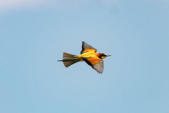 European bee-eater, Merops Apiaster, in flight in Donana National Park, Huelva, Spain