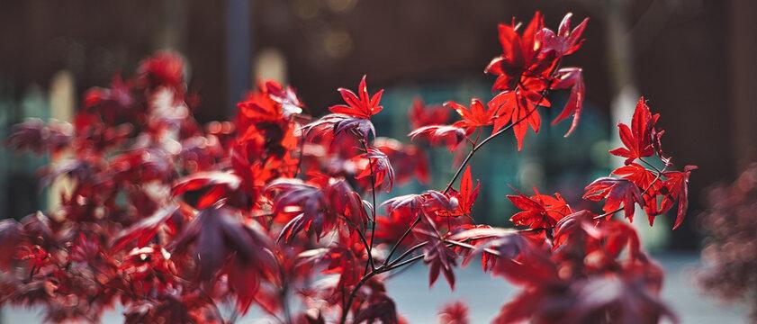 Die Blätter des Rotahorn leuchten toll im Morgenlicht
