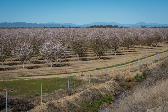 Landscape view of almond tree orchard in bloom in Yolo County, California.  Almonds are a controversial crop because of their water usage requirements.